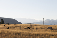 South Africa, Kwazulu-Natal, Drakensburg, cattle on an overgrown football pitch