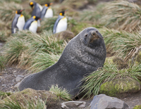 A fur seal in tussock grass at Right Whale Bay near the northeast tip of South Georgia.  The concentrations of fur seals on Sout 20088071621| 写真素材・ストックフォト・画像・イラスト素材|アマナイメージズ