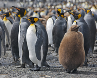 King penguins and an unfledged chick in down feathers at Right Whale Bay near the northeast tip of South Georgia. 20088071622| 写真素材・ストックフォト・画像・イラスト素材|アマナイメージズ