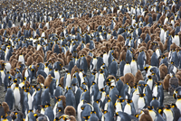 A large colony of King penguins with unfledged chicks in down feathers at Right Whale Bay near the northeast tip of South Georgi 20088071623| 写真素材・ストックフォト・画像・イラスト素材|アマナイメージズ