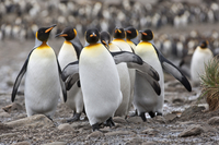 King penguins at Right Whale Bay near the northeast tip of South Georgia. 20088071624| 写真素材・ストックフォト・画像・イラスト素材|アマナイメージズ