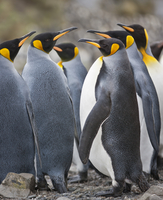 King penguins at Right Whale Bay near the northeast tip of South Georgia. 20088071625| 写真素材・ストックフォト・画像・イラスト素材|アマナイメージズ