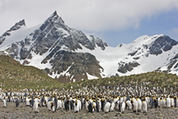 A King penguin colony at Right Whale Bay near the northeast tip of South Georgia. 20088071627| 写真素材・ストックフォト・画像・イラスト素材|アマナイメージズ