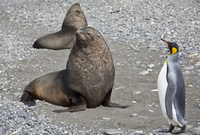 A King penguin passes close to a fur seal at Salisbury Plain. The vast plain is home to South Georgia's second largest King Peng 20088071633| 写真素材・ストックフォト・画像・イラスト素材|アマナイメージズ