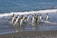 King penguins emerge from the sea at Salisbury Plain. The vast plain is home to South Georgia's second largest King Penguin rook 20088071634| 写真素材・ストックフォト・画像・イラスト素材|アマナイメージズ