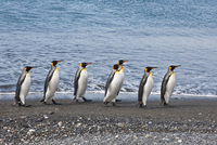 King penguins waddle along the shoreline at Salisbury Plain. The vast plain is home to South Georgia's second largest King Pengu 20088071635| 写真素材・ストックフォト・画像・イラスト素材|アマナイメージズ