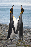 Two King penguins calling at Grytviken, which was South Georgia's longest running whaling station, operating from 1904 until it 20088071658| 写真素材・ストックフォト・画像・イラスト素材|アマナイメージズ
