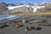 Gold Harbour is a magnificent amphitheatre of glaciers and snow- covered peaks with huge numbers of Southern Elephant Seals and 20088071663| 写真素材・ストックフォト・画像・イラスト素材|アマナイメージズ