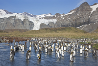 Gold Harbour is a magnificent amphitheatre of glaciers and mountains with around 25,000 breeding pairs of King Penguins. The unf 20088071671| 写真素材・ストックフォト・画像・イラスト素材|アマナイメージズ