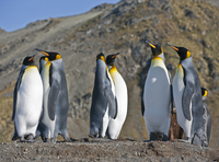 King Penguins at Gold Harbour which is a magnificent amphitheatre of glaciers and snow- covered peaks with around 25,000 breedin 20088071672| 写真素材・ストックフォト・画像・イラスト素材|アマナイメージズ