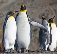 King Penguins at Gold Harbour which is a magnificent amphitheatre of glaciers and snow- covered peaks with around 25,000 breedin 20088071673| 写真素材・ストックフォト・画像・イラスト素材|アマナイメージズ