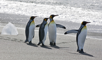 King Penguins waddle along the dark sandy beach at Gold Harbour which is a magnificent amphitheatre of glaciers and snow- covere 20088071676| 写真素材・ストックフォト・画像・イラスト素材|アマナイメージズ