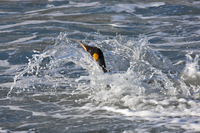 A King Penguin leaves shore at Gold Harbour. They spend up to 75% of their time at sea and will dive more than 150 feet in searc 20088071677| 写真素材・ストックフォト・画像・イラスト素材|アマナイメージズ