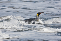 A King Penguin comes ashore at Gold Harbour. They spend up to 75% of their time at sea and will dive more than 150 feet in searc 20088071678| 写真素材・ストックフォト・画像・イラスト素材|アマナイメージズ
