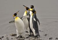 Antarctica, South Georgia Island. King Penguins jostling one another while exhibiting elements of courtship and breeding behavio 20088071683| 写真素材・ストックフォト・画像・イラスト素材|アマナイメージズ