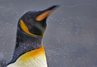Antarctica, Saint Andrew's Bay, South Georgia Island. King Penguin shaking the water from its coat as it emerges from the Southe 20088071688| 写真素材・ストックフォト・画像・イラスト素材|アマナイメージズ