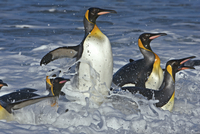 Antartica, Gold Harbour, South Georgia, Southern Ocean. King Penguins emerging from the ocean at their breeding colony on South 20088071694| 写真素材・ストックフォト・画像・イラスト素材|アマナイメージズ