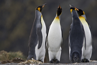Antartica, Salisbury Plain, South Georgia, Southern Ocean. King Penguins socialising and bonding during the breeding season at r 20088071696| 写真素材・ストックフォト・画像・イラスト素材|アマナイメージズ