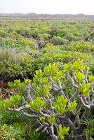 Vegetation in the north zone of Lanzarote, Canary Islands, Spain 20088073640| 写真素材・ストックフォト・画像・イラスト素材|アマナイメージズ