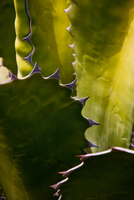 Detail of a Cactus in Lanzarote, Spain 20088073644| 写真素材・ストックフォト・画像・イラスト素材|アマナイメージズ