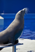 A Californian Sea Lion performs in the Aquarama facility of Barcelona Zoo, in the district of la Barceloneta, Barcelona, Catalun 20088074254| 写真素材・ストックフォト・画像・イラスト素材|アマナイメージズ