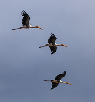 A flight of Painted storks in Udawalawe National Park, Sri Lanka