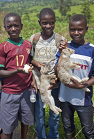Young boys take rabbits and a guinea pig to sell at a roadside market on the road between Fort Portal and Kasese, Uganda, Africa 20088083047| 写真素材・ストックフォト・画像・イラスト素材|アマナイメージズ