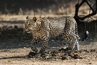 Zambia, Southeastern Zambia, Lower Zambezi National Park.  A leopard on the prowl in the late afternoon. 20088092747| 写真素材・ストックフォト・画像・イラスト素材|アマナイメージズ