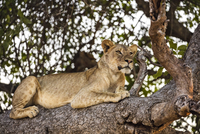 Zambia, Eastern Zambia, South Luangwa.  A lioness rests on a tree branch while keeping a watchful eye on her prey. 20088092762| 写真素材・ストックフォト・画像・イラスト素材|アマナイメージズ