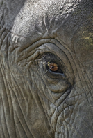 Zambia, Eastern Zambia, South Luangwa.  A close up of an elephant