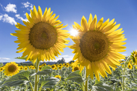 France, Provence Alps Cote d'Azur, Haute Provence, a pair of sunflowers 20088098661| 写真素材・ストックフォト・画像・イラスト素材|アマナイメージズ