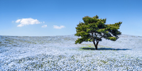 Nemophila menziesii flowers in spring blooming at the Hitachi Seaside Park, Ibaraki prefecture, Japan 20088101056| 写真素材・ストックフォト・画像・イラスト素材|アマナイメージズ
