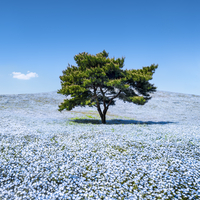 Nemophila menziesii flowers in spring blooming at the Hitachi Seaside Park, Ibaraki prefecture, Japan 20088101057| 写真素材・ストックフォト・画像・イラスト素材|アマナイメージズ