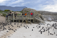 Tourists watching African penguins (Jackass penguins) on Boulders Beach, Simon's Town, Cape Town, Western Cape, South Africa 20088102610| 写真素材・ストックフォト・画像・イラスト素材|アマナイメージズ