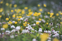 Scotland, Western Isles, Barra. Wild flowers of the machair including buttercups and white clover. 20088103045| 写真素材・ストックフォト・画像・イラスト素材|アマナイメージズ