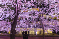 Japan, Tokyo, Roppongi District, Cherry trees illuminated at night at Midtown Tokyo Complex during the Cherry Blossom Festival 20088107197| 写真素材・ストックフォト・画像・イラスト素材|アマナイメージズ