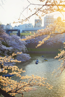 Japan, Tokyo, Chidorigafuchi Park, Cherry Trees in full bloom near the Imperial Palace moat