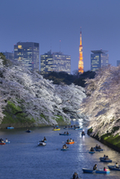 Japan, Tokyo, Chidorigafuchi Park, Cherry Trees in full bloom near the Imperial Palace moat, with downtown Tokyo and Tokyo tower