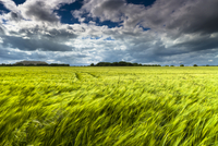 A field of barley blows in the wind beneath a threatening sky. 20089003473| 写真素材・ストックフォト・画像・イラスト素材|アマナイメージズ