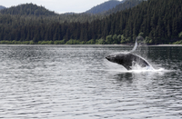 Humpback whale breaching off Icy Straits Point in Alaska. 20089007900| 写真素材・ストックフォト・画像・イラスト素材|アマナイメージズ