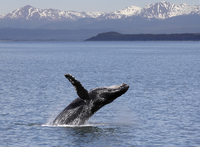 Humpback whale breaching off Icy Straits Point in Alaska. 20089007901| 写真素材・ストックフォト・画像・イラスト素材|アマナイメージズ