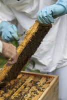 A bee-keeper with honeycombs 22199074602| 写真素材・ストックフォト・画像・イラスト素材|アマナイメージズ