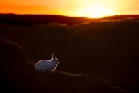 Mountain Hare at sunset with white coat that it develops dur 22206003687| 写真素材・ストックフォト・画像・イラスト素材|アマナイメージズ