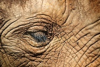 African elephant close up of face, Cabarceno, Spain