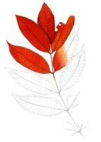 紅葉したハゼノキの葉 22276006520| 写真素材・ストックフォト・画像・イラスト素材|アマナイメージズ