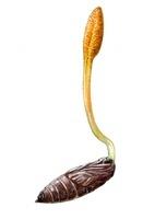 サナギタケ 冬虫夏草 食用キノコ 22276007028| 写真素材・ストックフォト・画像・イラスト素材|アマナイメージズ
