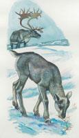 a calf of a reindeer grazing in a field 22907003060| 写真素材・ストックフォト・画像・イラスト素材|アマナイメージズ