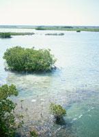 フロリダキーのマングローブ 25356000825| 写真素材・ストックフォト・画像・イラスト素材|アマナイメージズ