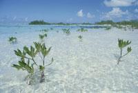 マングローブの新芽 25356001523| 写真素材・ストックフォト・画像・イラスト素材|アマナイメージズ