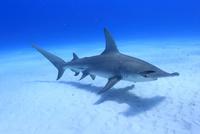美しい海を泳ぐグレートハンマーヘッドシャーク 25356001851| 写真素材・ストックフォト・画像・イラスト素材|アマナイメージズ